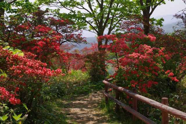 恵山-つつじ2011年6月7日-9.jpg